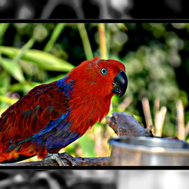 Red Parrot at the bird sanctuary.