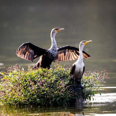 Cormorant drying together in the sun on their own island