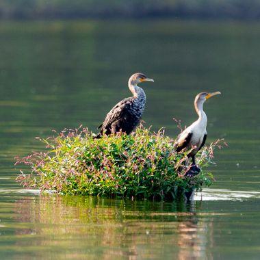Cormorants taking a break