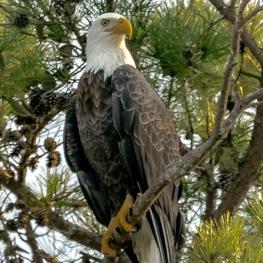 September Eagle on the lookout
