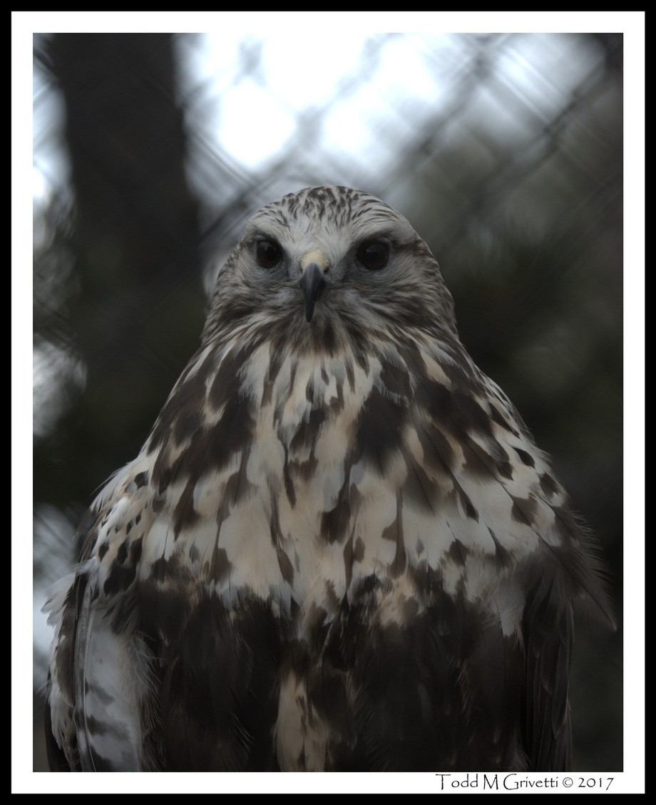 Keek is a Rough-Legged Hawk and part of the center's educational birds. She suffered an injury to her right wing and was unable to be rehabilitated. She now lives her life in some quite comfortable digs I might add.