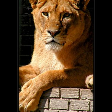 Relaxed lioness at Nademanns animal park.