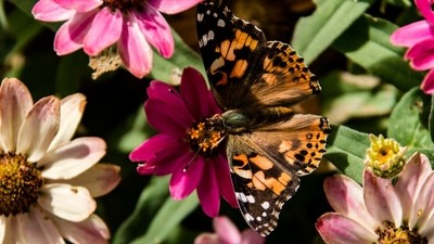Painted lady in the flowers