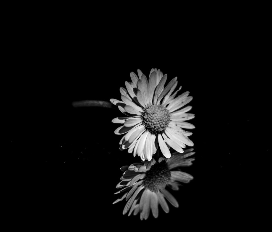 Daisy with a reflection