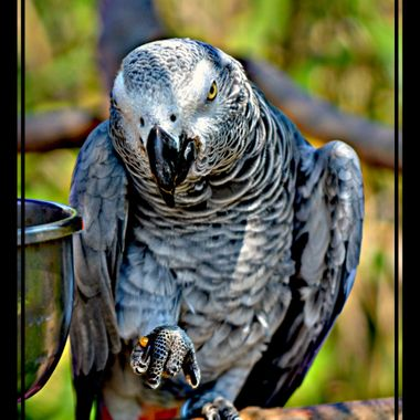Stare out match with a grey Parrot.