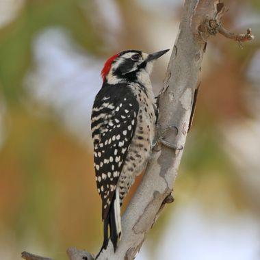 Nuttal Woodpecker IMG_2176