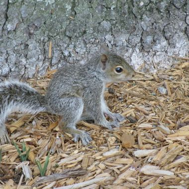 This baby squirrel is too young to be frighten by this human.