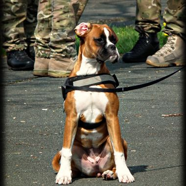 A military working dog sitting patiently.