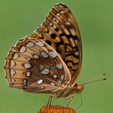 Butterfly in the meadow