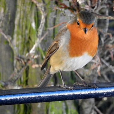 Our wee resident Robin
