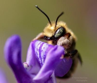 Wool Carder Bee. Shawnigan Lake. Tyson Harrison Photography-2