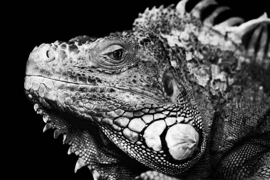 Iguana monochrome