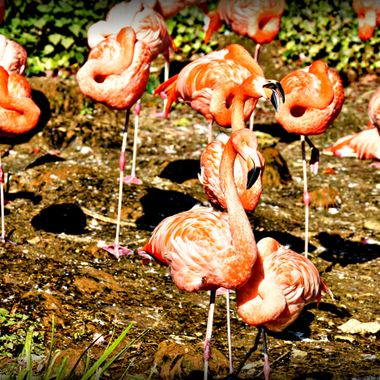 Flamingos at Osnabrück Zoo.