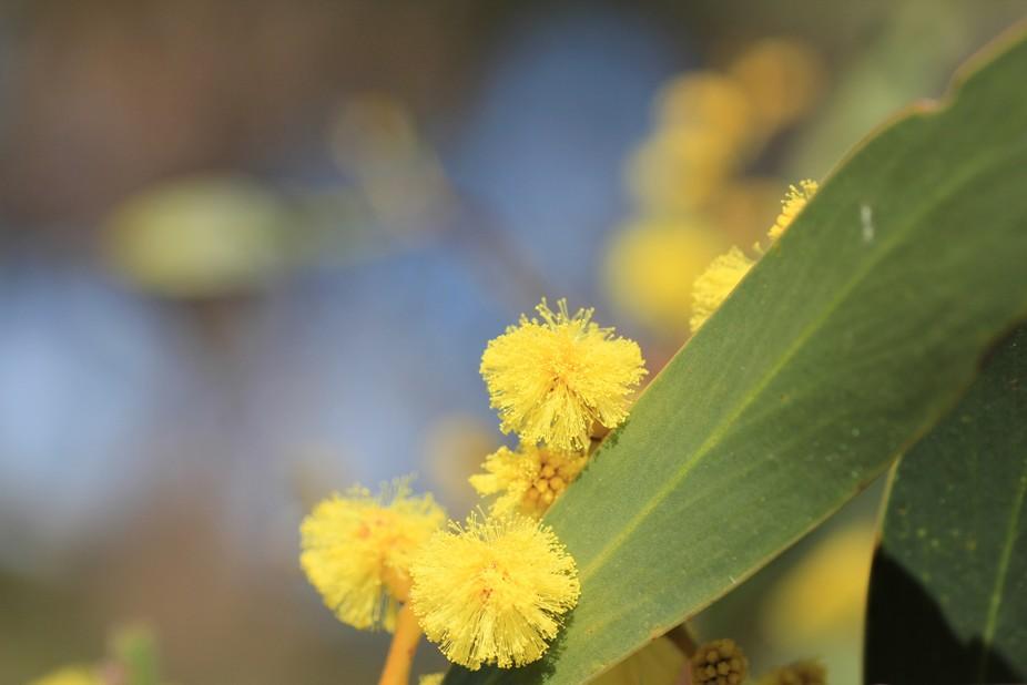 Flowers of the Golden Wattle tree.