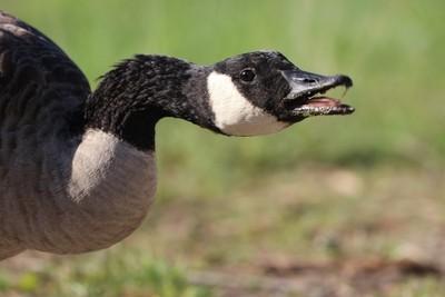 Sassy Goose