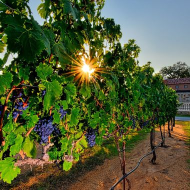Photo taken for magazine ad shoot, Grape Creek Vineyards, Texas Hill Country.
