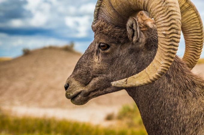 Bighorn Sheep  by markpaul - Social Exposure Photo Contest Vol 11