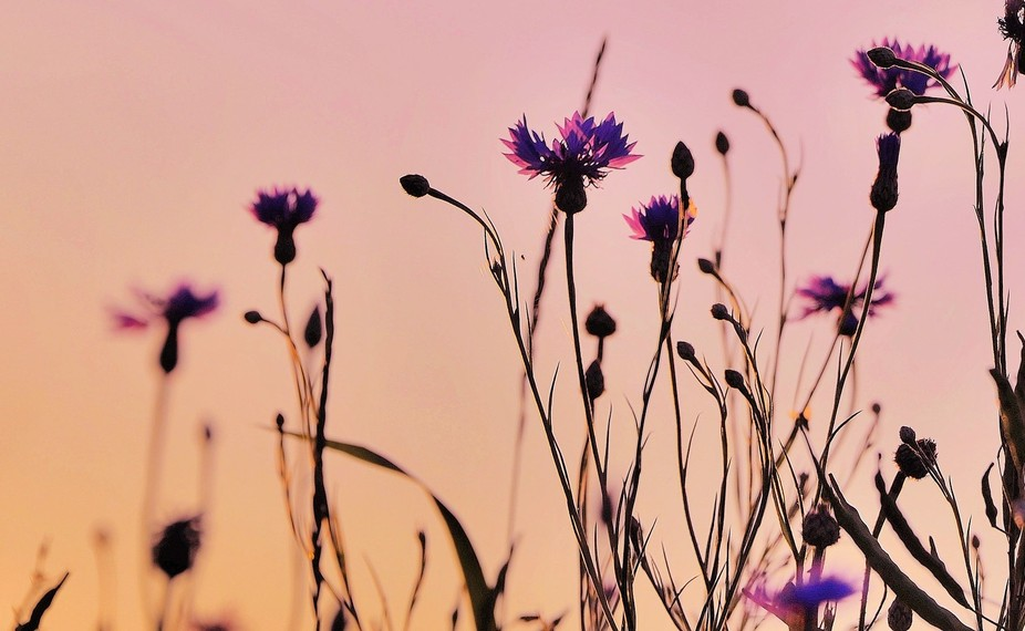Following a small spider I found this line of cornflowers saluting the sunset.