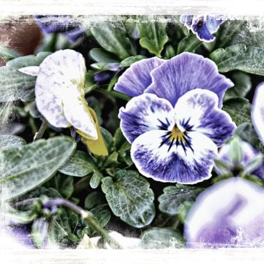 Lovely violet blue Pansies from a flower box.