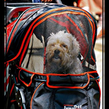 Dog been transported in a pram.