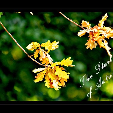 Autumn leaves at the onset of Autumn.