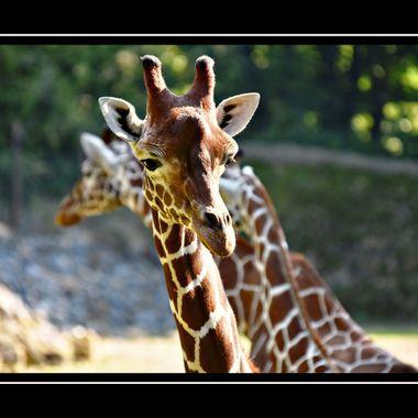 Giraffe at Osnabrück Zoo.