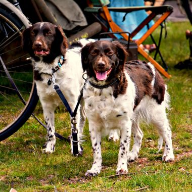 Two Spaniels leashed together.