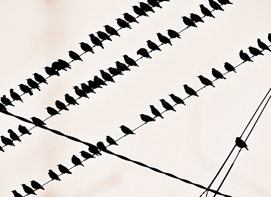 A flock of migrating starlings arrive