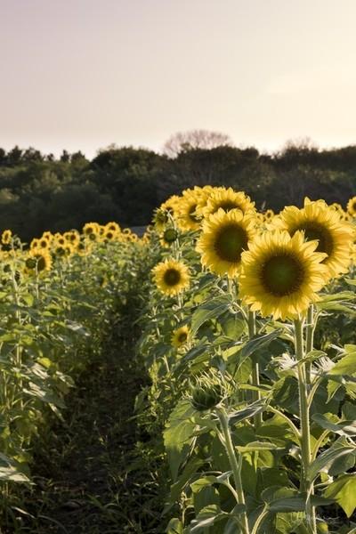 Sunflower Farming