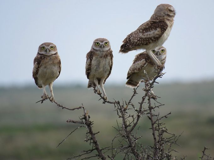 Burrowing Owls by JamesATimmons - Strong Foregrounds Photo Contest