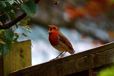 Songful Robin Red Breast