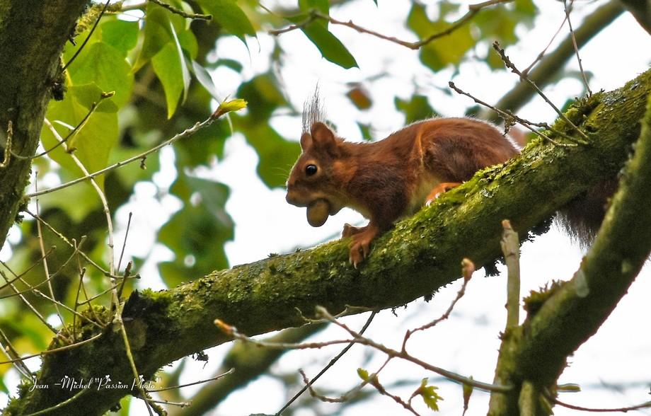 Avec la noisette dans sa bouche sur sa branche .