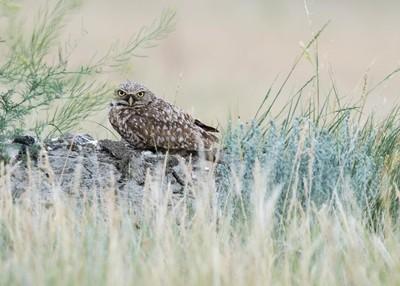Burrowing Owl on the Prairies