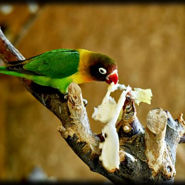 A tiny parrot munching on a piece of fat.