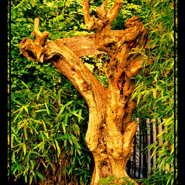 A funny old tree at Osnabrück Zoo.