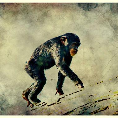 Chimp baby balance.