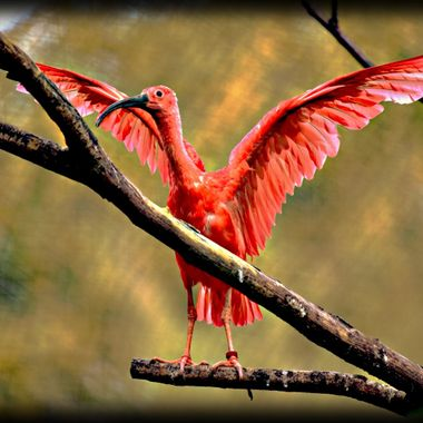 A really bright red bird at the Zoo.