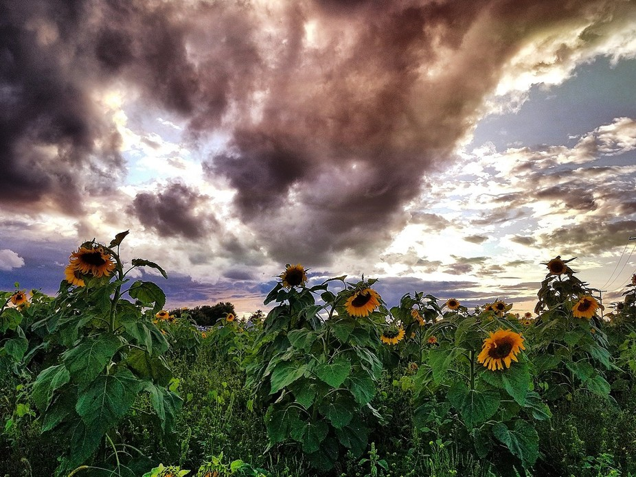 Sunflowers I photographed at Old McDonald's Farm.
