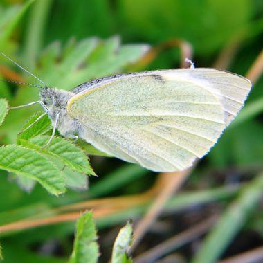 Green Veined Butterfly.