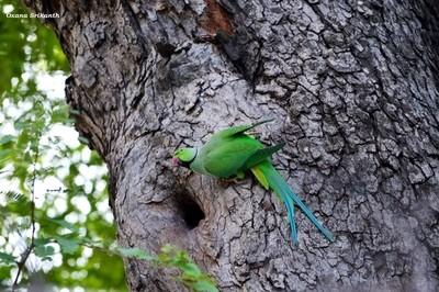 A rose-ringed parakeet
