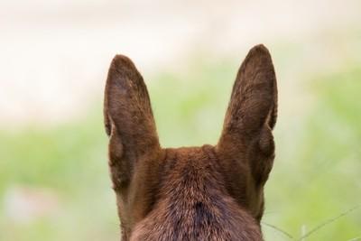 Lucky's ears