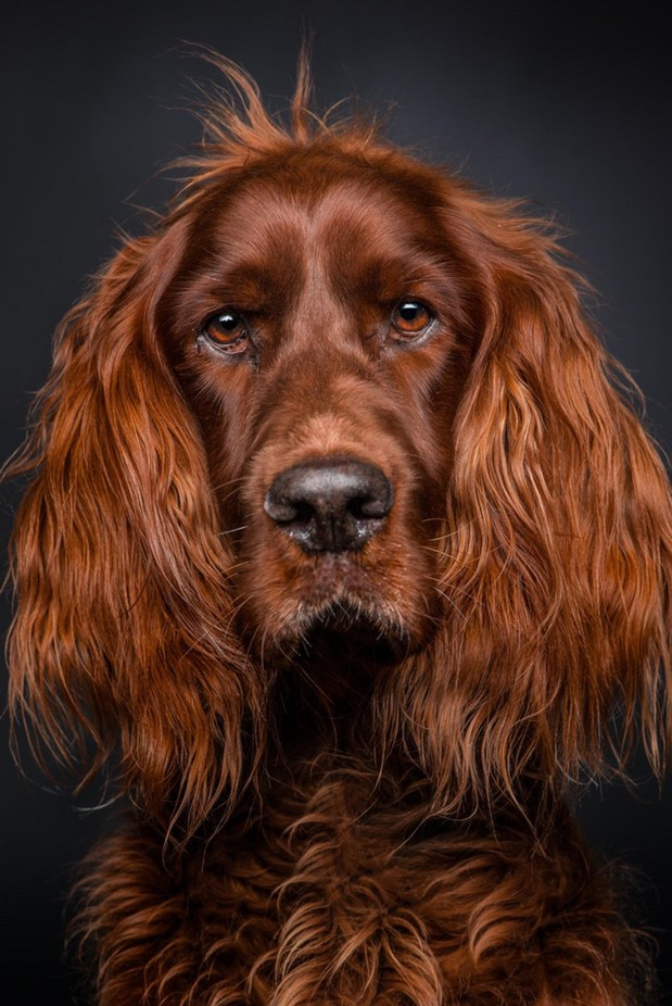 Sheriff, the 9 year old setter. by ariebruinsma - Only Pets Photo Contest