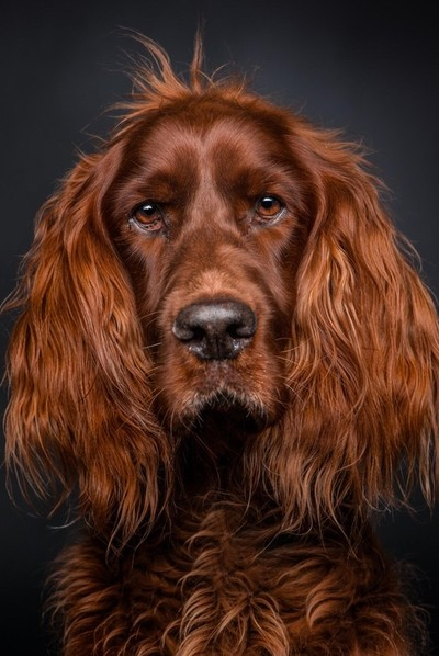 Sheriff, the 9 year old setter.