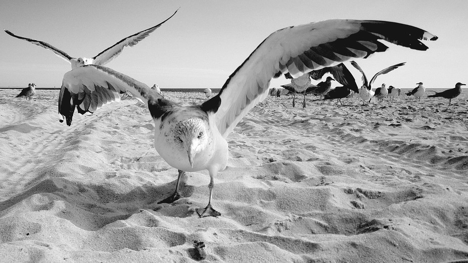 The gangsta Gull approaches food, 'it's mine!'