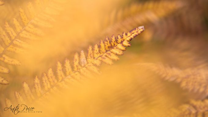 Golden fern by anitaprice - Fall 2017 Photo Contest