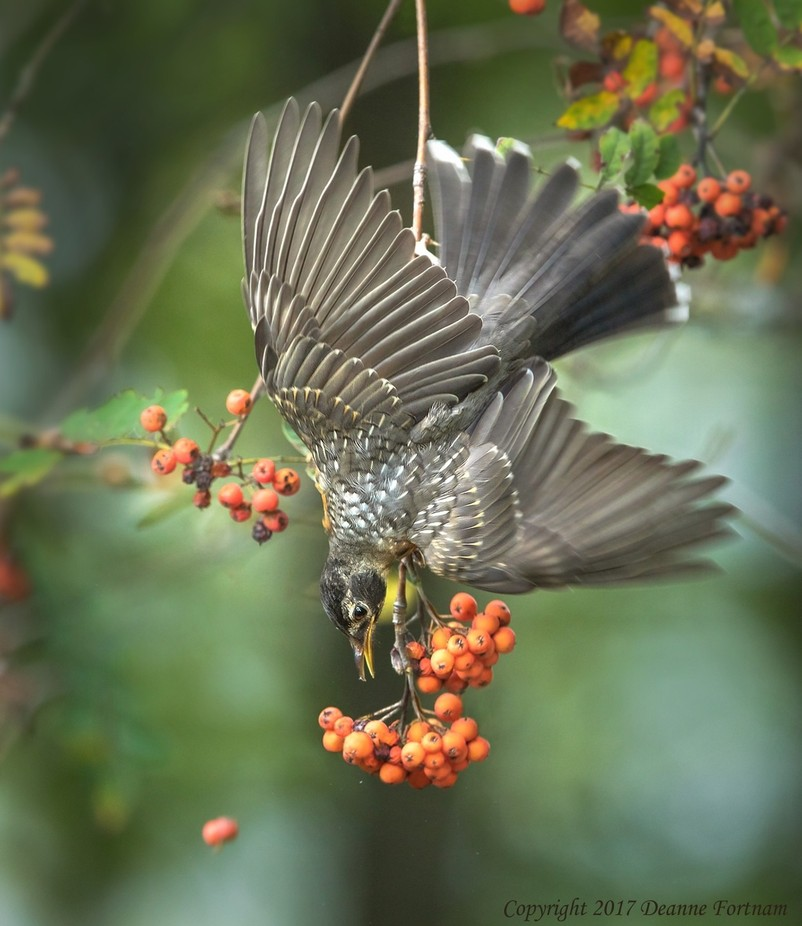 American Robin by deannefortnam - Image Of The Month Photo Contest Vol 26