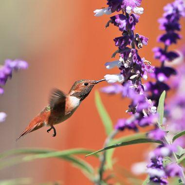 Hummingbird IMG_2453