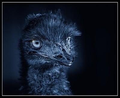 Emu In Blue.