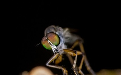 Robber fly