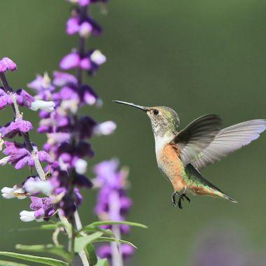 Hummingbird IMG_2434